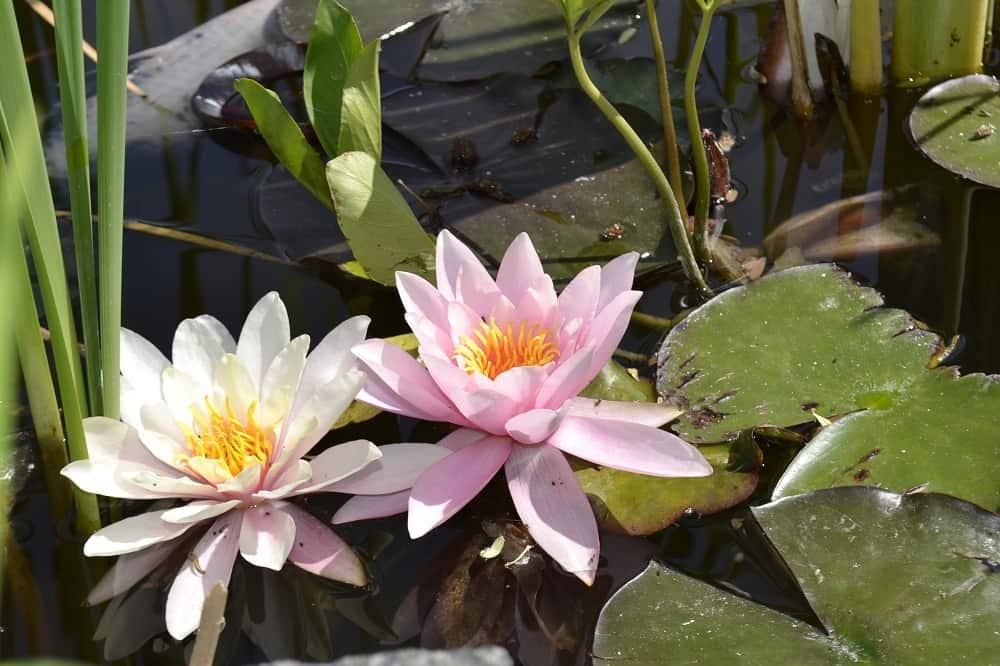 Mezhyhiria Lilies